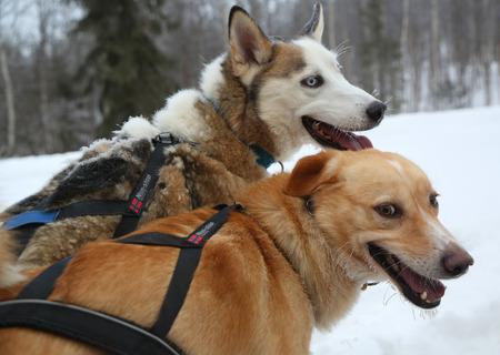 mushing: Running husky dog sledge Stock Photo