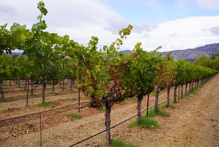 Grape wines in vineyard, Napa Valley