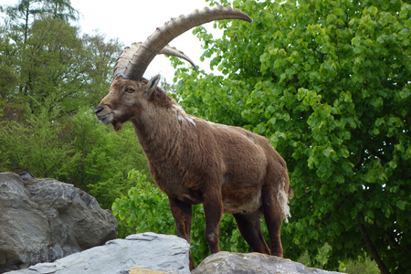 The Alpine ibex It is wild goat that lives in the mountains of the European Alps