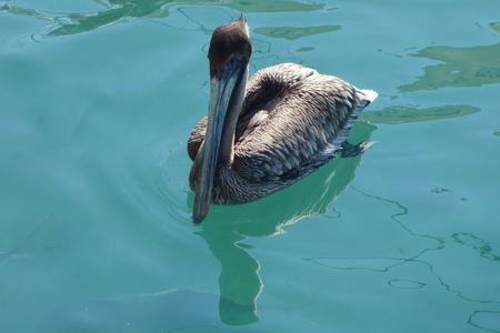 Gray pelican in Florida's marina Stock Photo