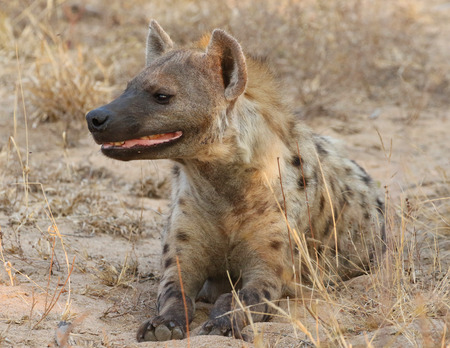 Spotted hyena in Kruger National Park