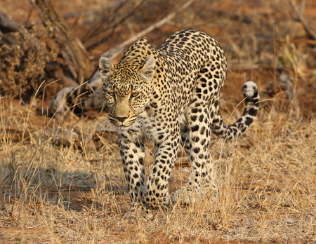 African leopard at Kruger National Park