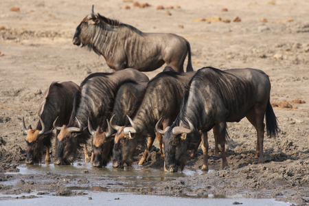 Blue Wildebeests drinking water at a waterhole in Kruger National Park, South Africa 版權商用圖片