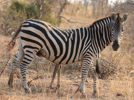 Burchells Zebra in Kruger National Park, South Africa Stock Photo