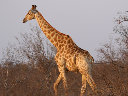 The South African giraffe in Kruger National Park