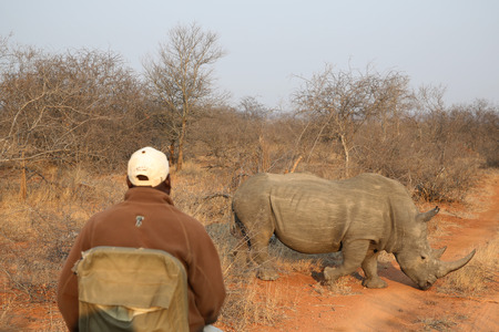 HOEDSPRUIT, SOUTH AFRICA - SEPTEMBER 28, 2018: Kings Camp safari spotter observes white rhino in Timbavati Private Nature Reserve, South Africa