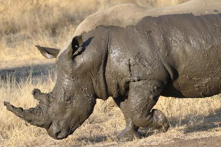 White rhino covered in mud