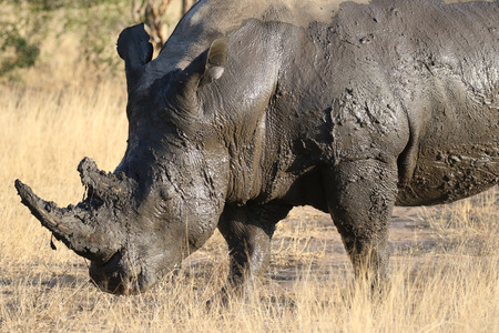 White rhino covered in mud