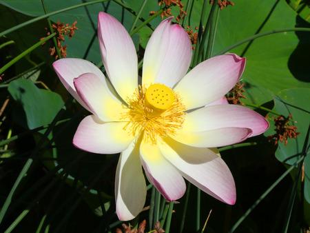 Beautiful Lotus flower in a park