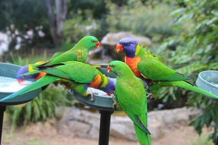 Colorful Rainbow Lorikeets in park
