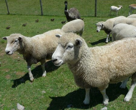 Flock of sheep at the farm