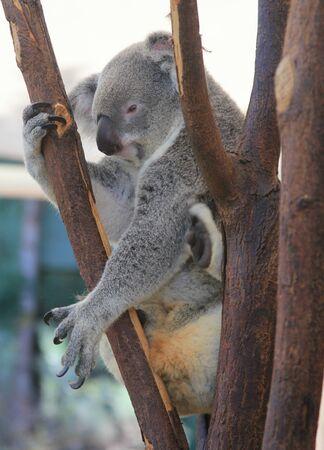 Koala at Lone Pine Koala Sanctuary in Brisbane, Australia Imagens