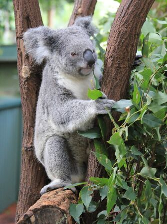 Koala at Lone Pine Koala Sanctuary in Brisbane, Australia Stock fotó