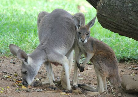 Eastern grey kangaroo with baby. A baby kangaroo is called a joey