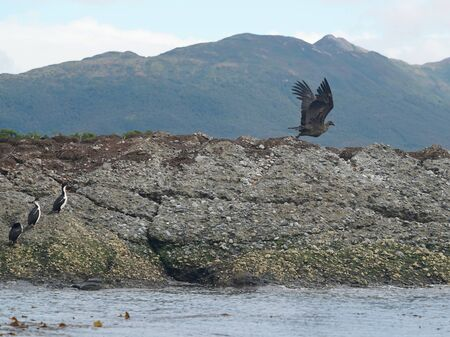 Condor and colony of Magellanic or rock cormorants, Beagle Channel, Patagonia
