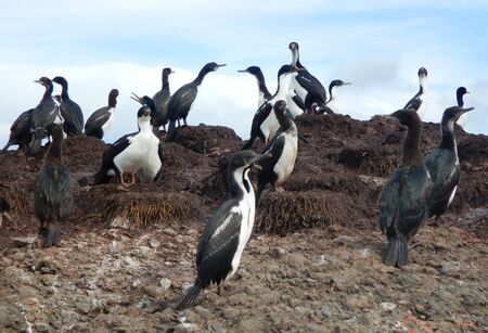 Colony of Magellanic or rock cormorants, Beagle Channel, Patagonia