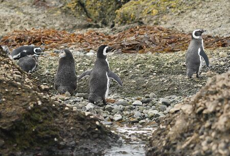Magellanic Penguins at Tuckers Islets, Chilean Patagonia