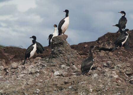 Colony of Magellanic or rock cormorants, Beagle Channel, Patagonia