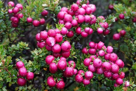 Chilean guava or strawberry myrtle berries in Chilean Patagonia