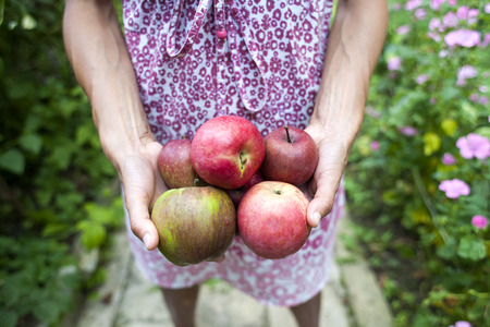 A woman is holding apples. Girl in dress harvests in the garden. Red ripe fruit in female hands. Proper nutrition. Stockfoto