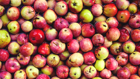 The apples lie in the water. harvested apple crop. apples for juice and food. Standard-Bild - 115855071