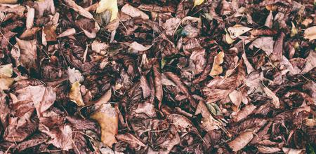 Dry, fallen leaves. The beetle sits on the darkened leaves. Autumn leaf fall. Standard-Bild - 115855073