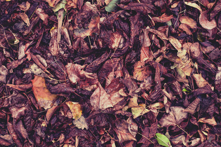 Dry, fallen leaves. The beetle sits on the darkened leaves. Autumn leaf fall. Standard-Bild - 115855074