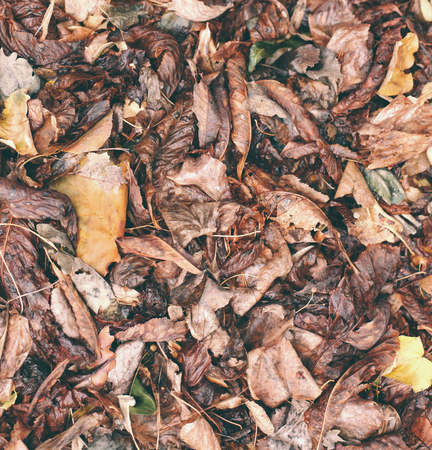 Dry, fallen leaves. The beetle sits on the darkened leaves. Autumn leaf fall. Standard-Bild - 115855075