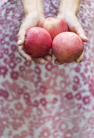Autumn harvest of ripe apples. Red fruits close up. The woman gathered the harvest and holds it in her hands. Gardening. A slender girl in a dress is harvesting in the garden. Standard-Bild - 115854931
