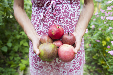 Autumn harvest of ripe apples. Red fruits close up. The woman gathered the harvest and holds it in her hands. Gardening. A slender girl in a dress is harvesting in the garden. Standard-Bild - 115854934