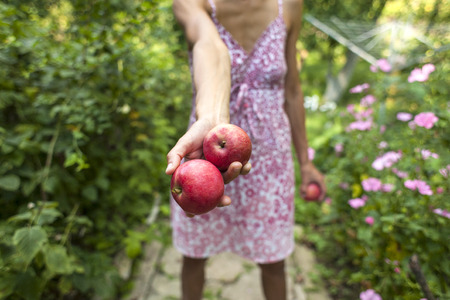 Autumn harvest of ripe apples. Red fruits close up. The woman gathered the harvest and holds it in her hands. Gardening. A slender girl in a dress is harvesting in the garden. Standard-Bild - 115854963