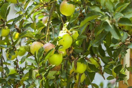 Apples on a branch. Ripening fruit on a tree. Yellow and green apples in the garden. Standard-Bild - 115855283