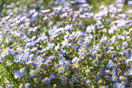 Field with daisies. Wildflowers close up. Violet flowers in the meadow. Little summer flowers grow in the clearing. Standard-Bild - 115855369