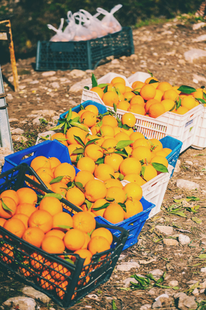 Ripe oranges in boxes. Harvesting citrus fruits. Fruit and vegetable market.