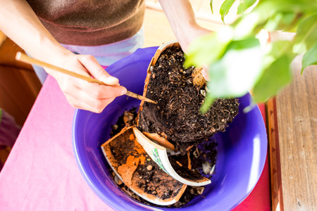 A woman plants a houseplant in a pot. Young ficus tree. Replanting a flower in a new pot. The girl puts her hands on the ground.