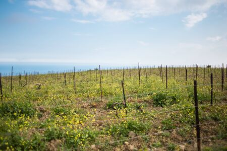 Vineyards on the background of the sea and mountains. Wine production. The cultivation of grapes. Spring mountain landscapes. Stok Fotoğraf