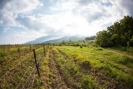Vineyards on the background of the sea and mountains. Wine production. The cultivation of grapes. Spring mountain landscapes. Zdjęcie Seryjne
