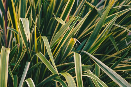 The lush green of the young bush. Bright leaves. Two-colored foliage of an exotic plant. Leaves of a plant close up.