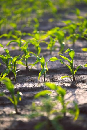 Young shoots of corn closeup. Fertile soil. Farm and field of grain crops. Agriculture.