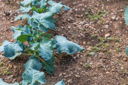 Cabbage in the greenhouse. Growing greens. Young plant. Plantation of vegetables. Agriculture.