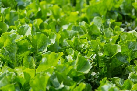 Lettuce leaf in the greenhouse. Growing greens. Young lettuce plant. Plantation of vegetables. Stok Fotoğraf - 133814476