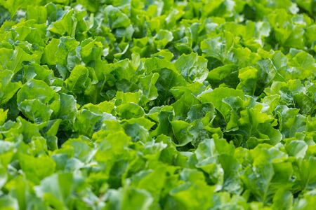 Lettuce leaf in the greenhouse. Growing greens. Young lettuce plant. Plantation of vegetables. Stok Fotoğraf - 133814477