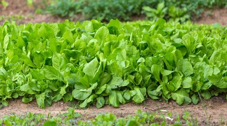 Lettuce leaf in the greenhouse. Growing greens. Young lettuce plant. Plantation of vegetables. Stok Fotoğraf - 133814501