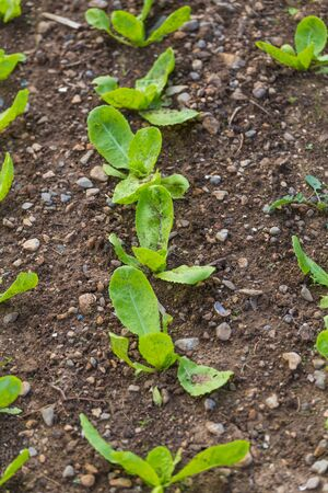 Lettuce leaf in the greenhouse. Growing greens. Young lettuce plant. Plantation of vegetables. Stok Fotoğraf
