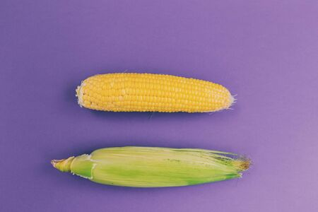 Corn cob on a purple background. Two raw corn heads. Yellow cereal food. Harvesting cereals.