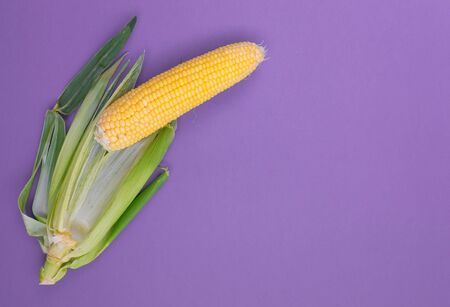 Corn cob on a purple background. Raw corn. Yellow cereal food. Harvesting cereals.