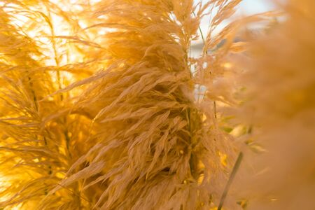 Ripe decorative reeds. Dried flower. Beautiful golden plant. Garden decoration. Stockfoto