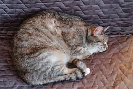 The gray cat sleeps curled up in a gray chair 版權商用圖片