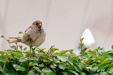 Nestling of a Sparrow with a yellow beak, copy space