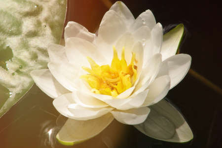 Lily on the water surface, close-up. Beautiful water flower white. Blooming white lilies on the pond. 版權商用圖片
